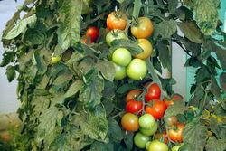 Viele Tomaten in Guben.