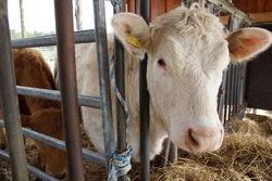 Kühe in ihrem Unterstand.
